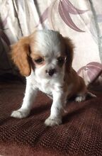 Cavalier King Charles Spanial Woodside Wellington Area Preview