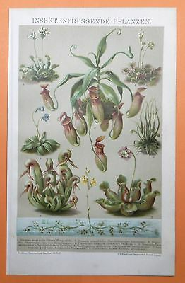 Insektenfressende Pflanzen Venus Fliegenfalle Sonnentau  LITHOGRAPHIE 1895
