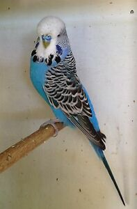 High Quality English Show Budgie Victoria Point Redland Area Preview