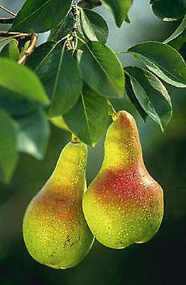 Pyrus Communis European Bartlett Pear 25 Seeds Large Fruits Ornamental Tree