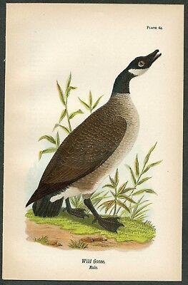 WILD GOOSE, Vintage 1890 Chromolithograph, Color Print, Antique, 064