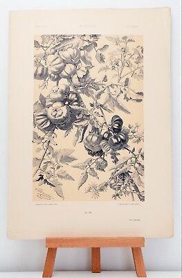 """Farb-Lithographie Plate 148 Tomaten 1886 """"Die Pflanze in Kunst und Gewerbe"""""""