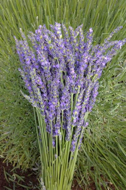 Fresh lavender bunches available soon other home for Gardening tools gumtree