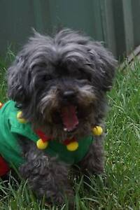 Missing Black Shih-Tzu Cross Poodle Plumpton Blacktown Area Preview