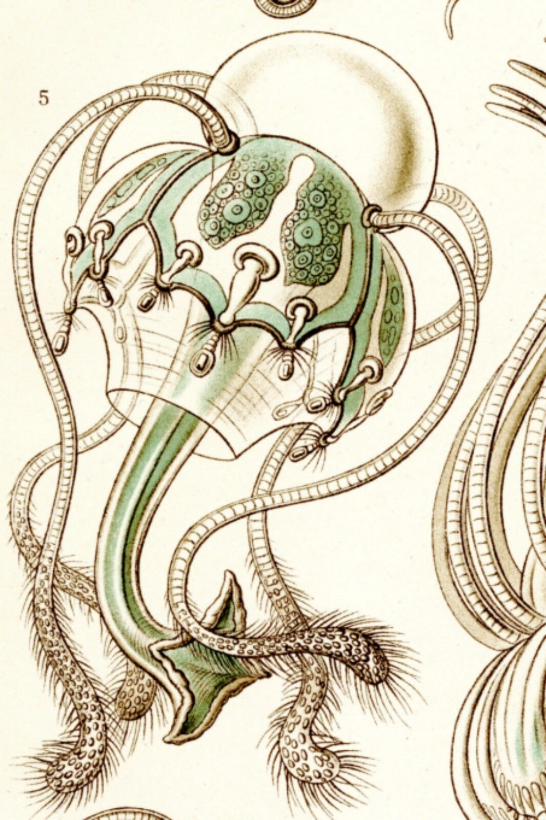 Medusa Drawing Ernst Haeckel Jellyfish Drawing Scientific