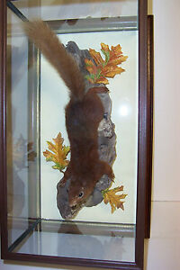 Red-Squirrel-in-a-wall-mounted-glass-case