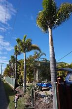 FOXTAIL PALMS 5m Hope Island Gold Coast North Preview