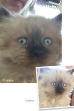 Three Birman kittens Milbong Ipswich South Preview