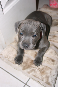 Purchased a Staffy pup recently? Marsden Logan Area Preview