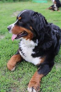 Last pick of female Purebred Bernese puppies