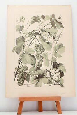 """Farb-Lithographie Plate 167 Weinstock 1886 """"Die Pflanze in Kunst und Gewerbe"""""""