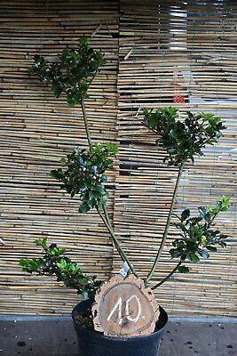 1 Ilex Meserveae Blue Prince/Gartenbonsai No. 10 Height 85cm With 5 Pom Poms