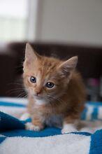 Kitten - Garfield JR - 7 weeks Campbelltown Campbelltown Area Preview