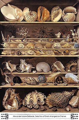 Seashell Art Selection of Shells Arranged on Shelves Alexandre de Barde Repro