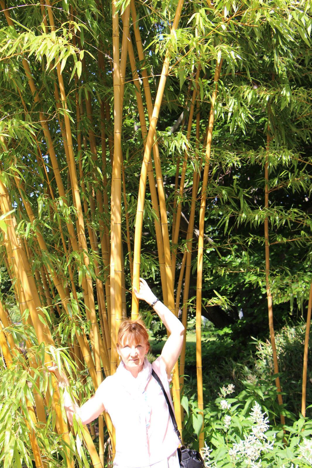 goldener Bambus Phyllostachys aureosulcata aureocaulis Hecke