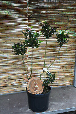 1 Ilex Meserveae Blue Prince/Gartenbonsai No. 3 Height 75cm With 5 Pom Poms