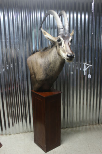 Large African Sable Taxidermy Shoulder Mount for sale