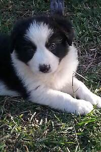BEAUTIFUL BORDER COLLIE PUPPIES!  PUREBRED BLACK & WHITE! Townsville Townsville City Preview
