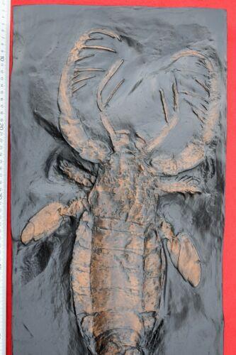 Mixopterus kiaeri, giant eurypterid (replica) 33 Inches Long #580