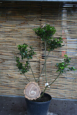 1 Ilex Meserveae Blue Prince/Gartenbonsai No. 6 Height 80cm With 5 Pom Poms