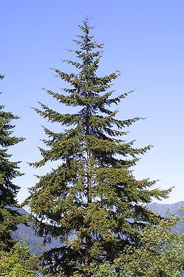 Douglas Fir Tree - Healthy Established Rooted - 12 Plants in 2.5