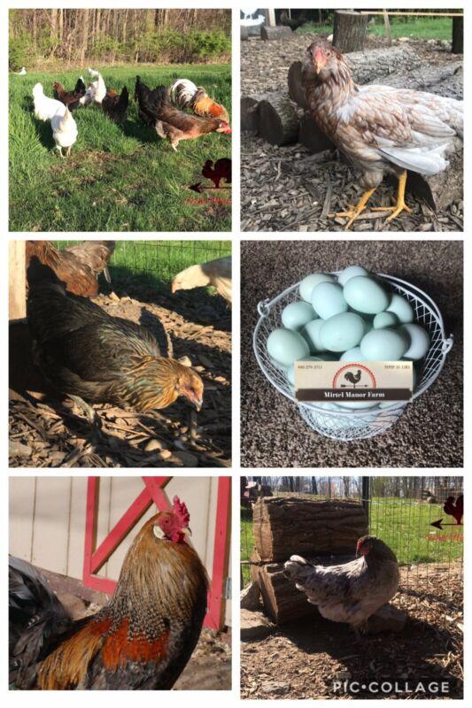 Whiting True Blue Fertile Hatching Eggs NPIP Blue Eggs