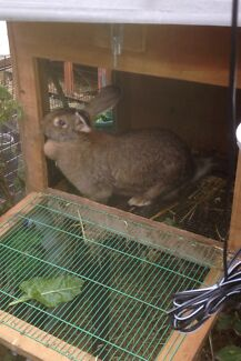 2 female rabbits for sale  Wantirna South Knox Area Preview