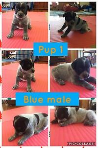 Red and blue heeler male pups Lake Albert Wagga Wagga City Preview
