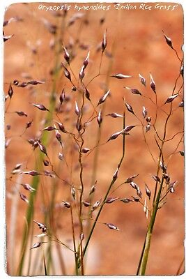 Oryzopsis hymenoides 'Indian Rice Grass' [Syn. Achnatherum] 200 SEEDS  (Indian Rice Grass)