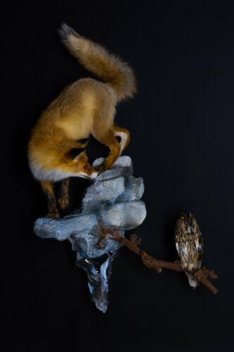 Taxidermy Fox with Owl full size Bird Stuffed animal Mount Cites
