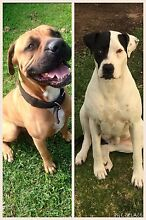 Bull Arab x boxer puppy Wauchope Port Macquarie City Preview