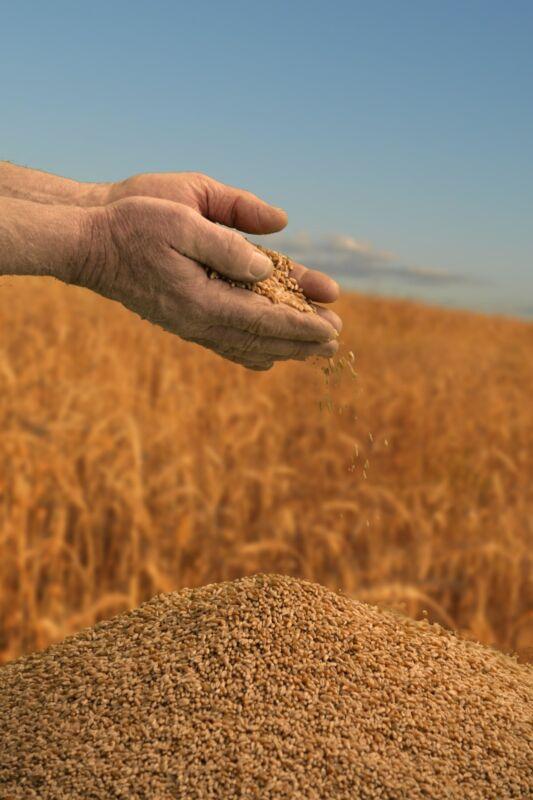 Hard Red Spring Wheat Berries CHEMICAL FREE Non-GMO 7 lb Bag Vacuum Sealed Grain