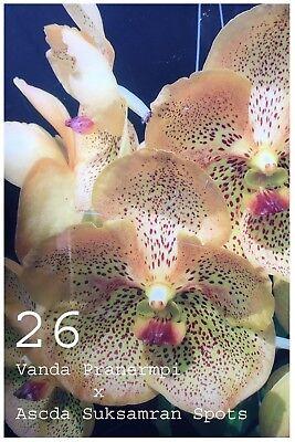 Orchid Vanda Hybrid Plant No26 Pranermpi Var Suksamran Spots Usa Free Ship