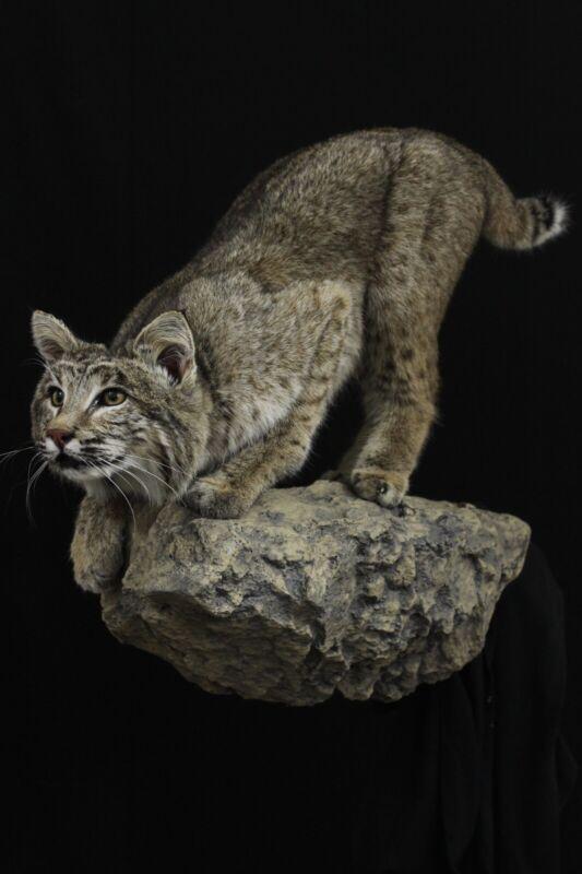 Bobcat (Lynx Rufus) Taxidermy Mount