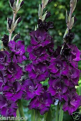8 BULBS GLADIOLI VELVET EYES GARDENING BEAUTIFUL SPRING SUMMER FLOWER PERENNIAL