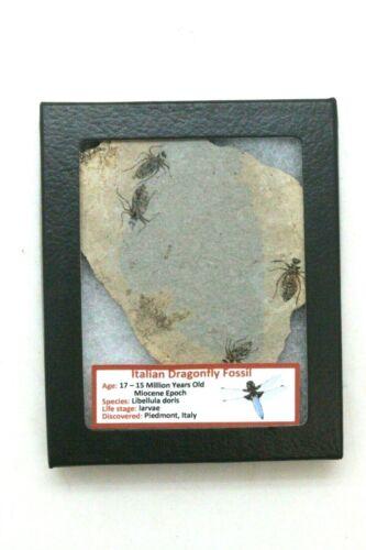 Ancient Italian Dragonfly Fossil - 17/15 MYO - Italy