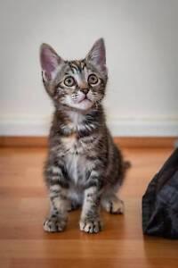 Pepper rescue kitten NK2805 VET WORK INCLUDED