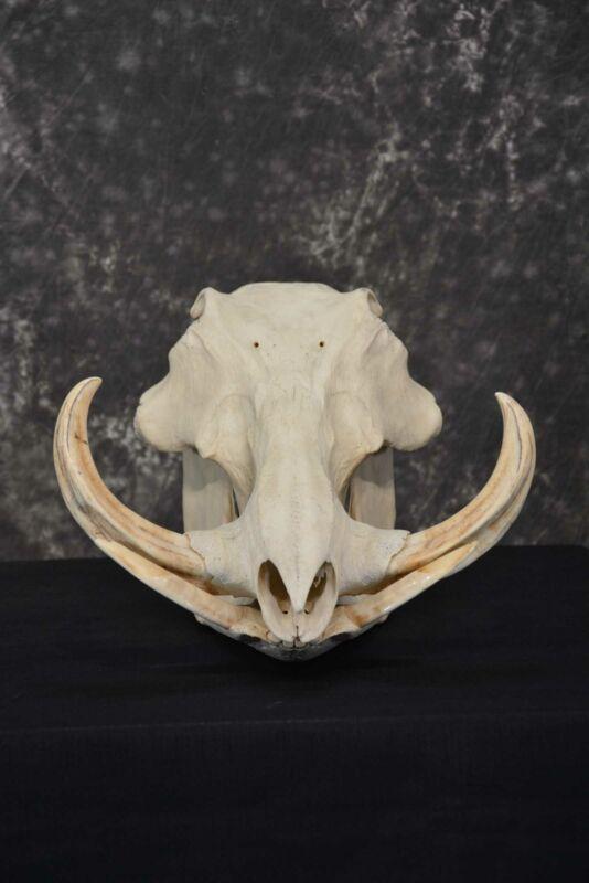 Warthog European Taxidermy Skull for sale SKU 1761