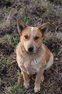 Stumpy tail female (not desexed) cattle dog Allora Southern Downs Preview