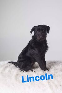 LINCOLN - terrier x