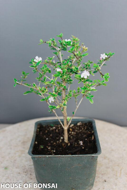 Chinese Flowering Serissa