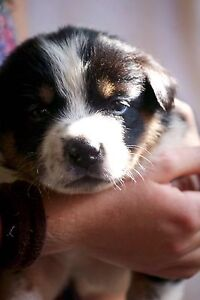 Red Kelpie/ Border Collie puppy's ! Lower Daintree Cairns Surrounds Preview