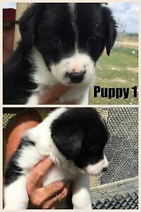 Border Collie Puppy's Gumlow Townsville Surrounds Preview