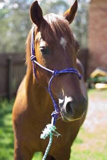 Beautiful chestnut QH mare