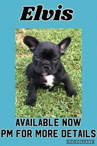 French Bulldog Purebred with Papers