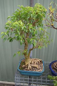 Remaining Bonsai Collection for Sale Kingsgrove Canterbury Area Preview