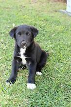Border Collie x Kelpie pup - ready to go! Cooyar Toowoomba Surrounds Preview