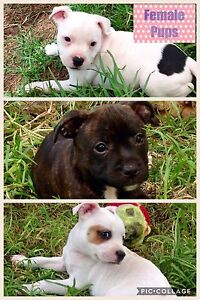Purebred Staffy Pups Coonabarabran Warrumbungle Area Preview