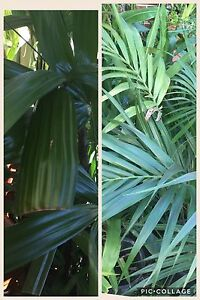 Large - small PALMS in pots Ingleburn Campbelltown Area Preview