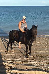 Black Quarterhorse 9yrs old 14.3hh Exmouth Exmouth Area Preview